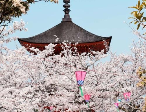 La fioritura dei ciliegi in Giappone. Hamami.